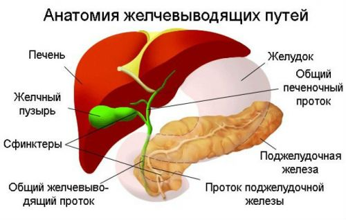 Схема «Анатомия желчевыводящих путей»