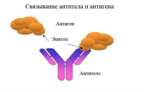 Антитело и антиген