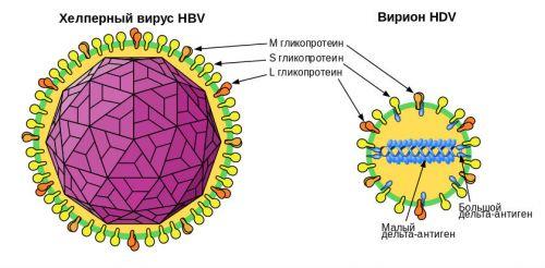 Структура вируса HDV