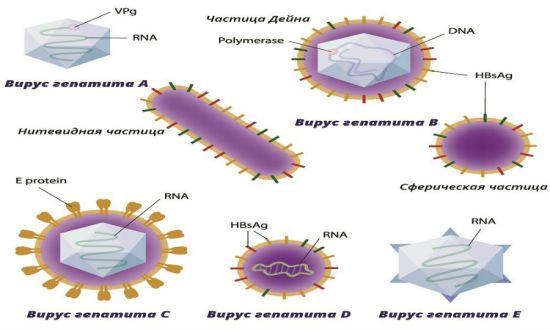 Вирусы гепатитов