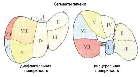 Сегменты печени